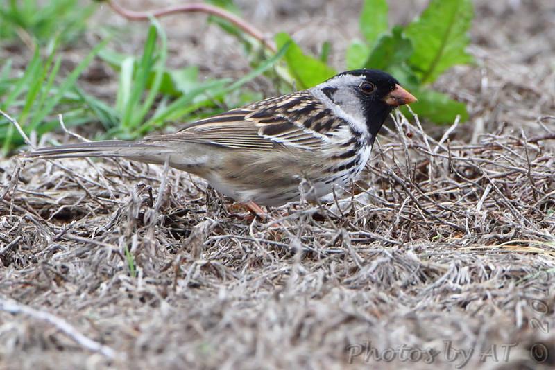 Harris's Sparrow <br /> Bean Lake