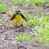 Palm Warbler <br /> Bean Lake