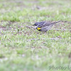 Yellow-rumped Warbler <br /> Bean Lake