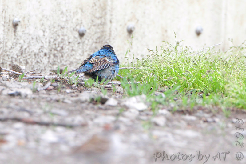 Indigo Bunting <br /> Bean Lake