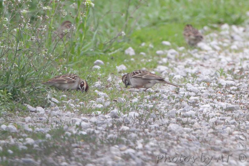 Lark Sparrow<br /> Squaw Creek Natural Wildlife Refuge
