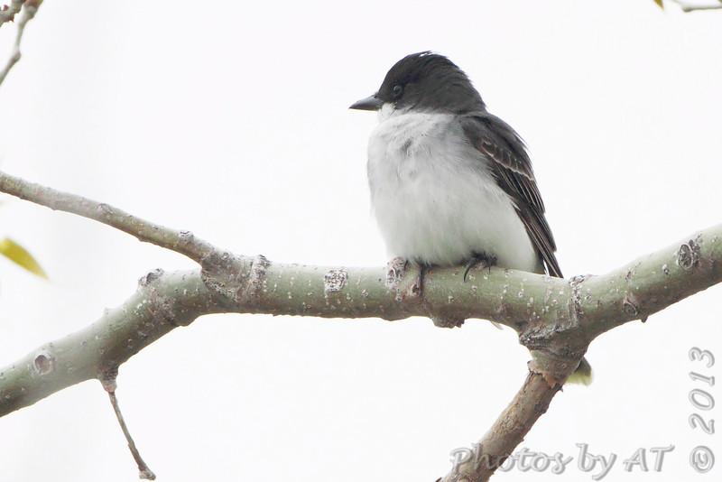 Eastern Kingbird <br /> Squaw Creek Natural Wildlife Refuge