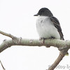 Eastern Kingbird <br /> Squaw Creek Natural Wildlife Refuge
