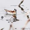 Wilson's Phalarope<br /> Squaw Creek Natural Wildlife Refuge