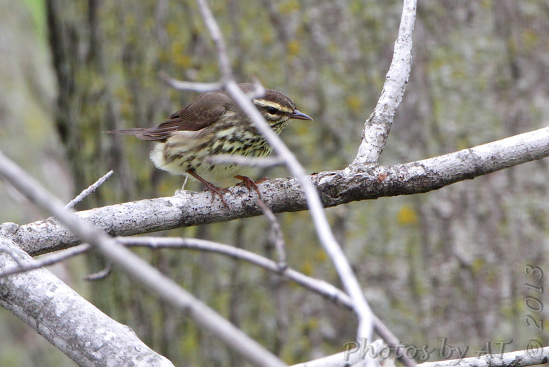 Northern Waterthrush <br /> Squaw Creek Natural Wildlife Refuge