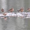 Long-billed Dowitchers <br /> Squaw Creek Natural Wildlife Refuge