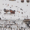 Cinnamon/Blue-winged Teal Hybrid <br /> Squaw Creek Natural Wildlife Refuge