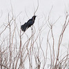 Great-tailed Grackle <br /> Squaw Creek Natural Wildlife Refuge