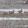 Blue-winged Teal <br /> Some kind of hybrid <br /> Squaw Creek Natural Wildlife Refuge