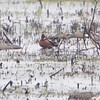 Cinnamon Teal <br /> Squaw Creek Natural Wildlife Refuge