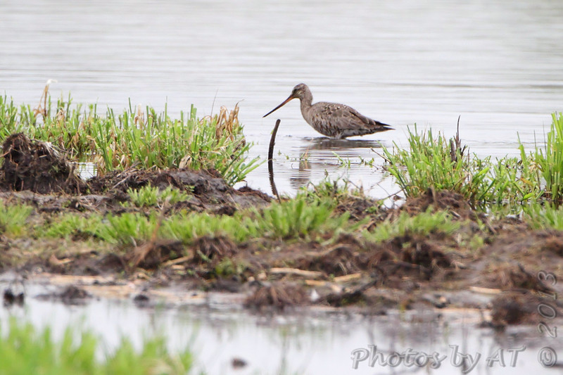 Hudsonian Godwit <br /> Squaw Creek Natural Wildlife Refuge