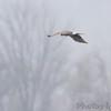 Northern Harrier <br /> Squaw Creek Natural Wildlife Refuge