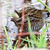 Sora <br /> Squaw Creek Natural Wildlife Refuge