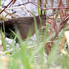 Virginia's Rail <br /> Squaw Creek Natural Wildlife Refuge