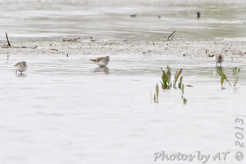Least Sandpipers <br /> Squaw Creek Natural Wildlife Refuge