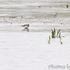 Least Sandpipers <br /> Squaw Creek Natural Wildlife Refuge