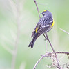 Yellow-rumped Warbler <br /> Squaw Creek Natural Wildlife Refuge