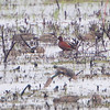 Cinnamon Teal <br /> Squaw Creek Natural Wildlife Refuge