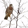 Swainson's Hawk <br /> Squaw Creek Natural Wildlife Refuge
