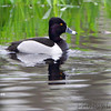 Ring-necked Duck  (male) <br /> Squaw Creek Natural Wildlife Refuge