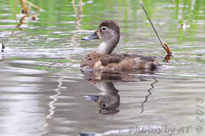 Ring-necked Duck  (female) <br /> Squaw Creek Natural Wildlife Refuge