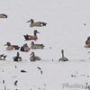 Cinnamon/Blue-winged Teal Hybrid <br /> Squaw Creek Natural Wildlife Refuge