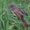 Great Crested Flycatcher <br /> Squaw Creek Natural Wildlife Refuge