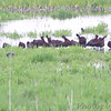 White-faced Ibis <br /> Squaw Creek Natural Wildlife Refuge