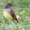 Great Crested Flycatcher <br /> Squaw Creek Natural Wildlife Refuge