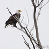 Bald Eagle <br /> Squaw Creek Natural Wildlife Refuge