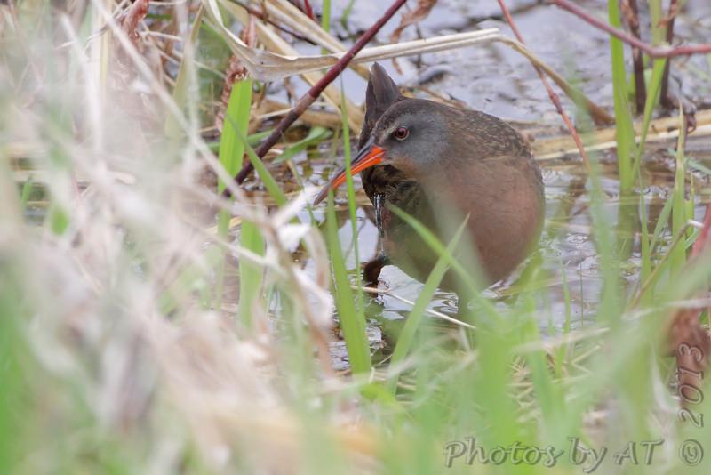 Virginia's Rail <br /> Squaw Creek Natural Wildlife Refuge