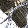 Savannah Sparrow <br /> Bean Lake