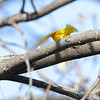 Yellow Warbler <br /> Bean Lake