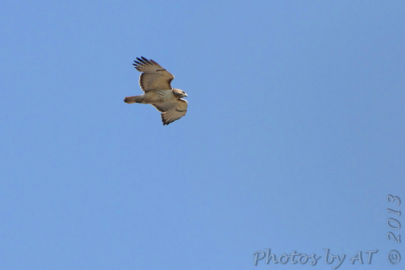 Red-tailed Hawk <br /> Bean Lake
