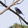 Eastern Bluebird <br /> Bean Lake