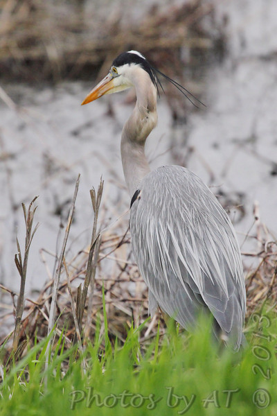 Great Blue Heron <br /> Squaw Creek Natural Wildlife Refuge