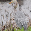 Great Blue Heron <br /> Squaw Creek Natural Wildlife Refuge