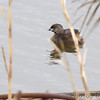 Pied-billed Grebe <br /> Squaw Creek Natural Wildlife Refuge