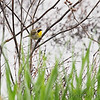 Common Yellowthroat <br /> Squaw Creek Natural Wildlife Refuge