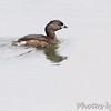 Pied-billed Grebe <br /> Squaw Creek Natural Wildlife Refuge