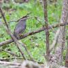 Gray Catbird <br /> Squaw Creek Natural Wildlife Refuge