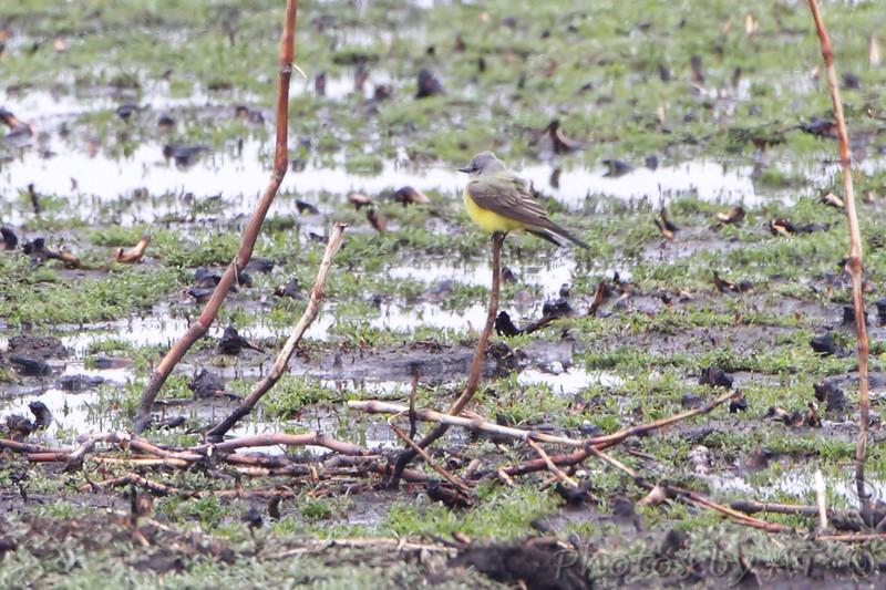 Western Kingbird <br /> Squaw Creek Natural Wildlife Refuge