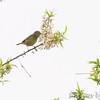 Orange-crowned Warbler <br /> Squaw Creek Natural Wildlife Refuge