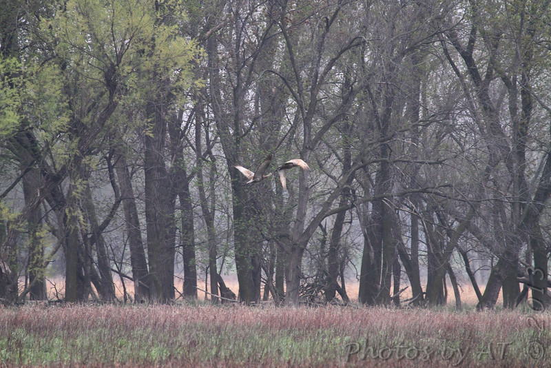 Sandhill Cranes <br /> Squaw Creek Natural Wildlife Refuge