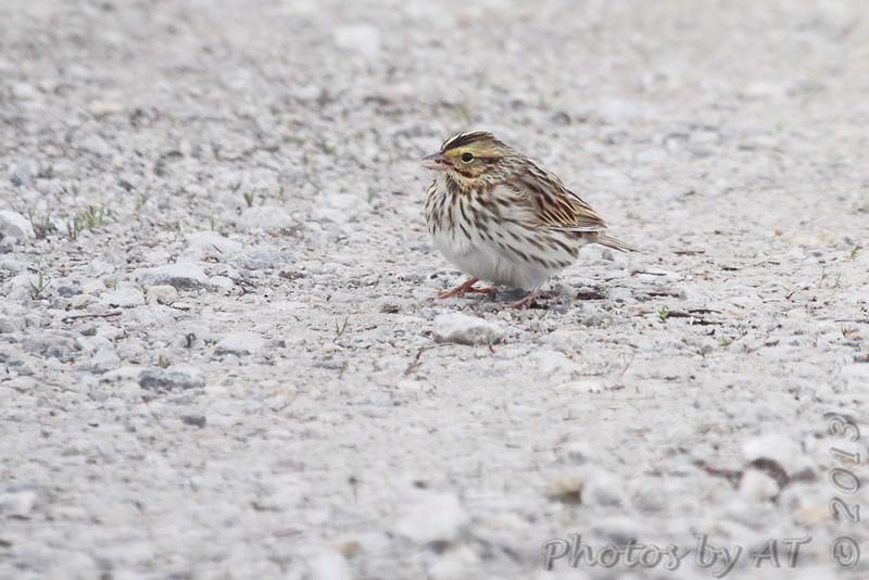 Savannah Sparrow <br /> Squaw Creek Natural Wildlife Refuge