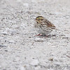 Savannah Sparrow <br /> Squaw Creek Natural Wildlife Refuge