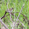 Clay-colored Sparrow <br /> Squaw Creek Natural Wildlife Refuge
