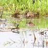 Long-billed Dowitcher <br /> Squaw Creek Natural Wildlife Refuge