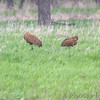 Sandhill Cranes <br /> Squaw Creek Natural Wildlife Refuge