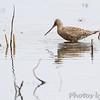 Hudsonian Godwit <br /> Squaw Creek Natural Wildlife Refuge